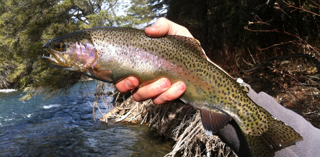 Freshly caught montana trout